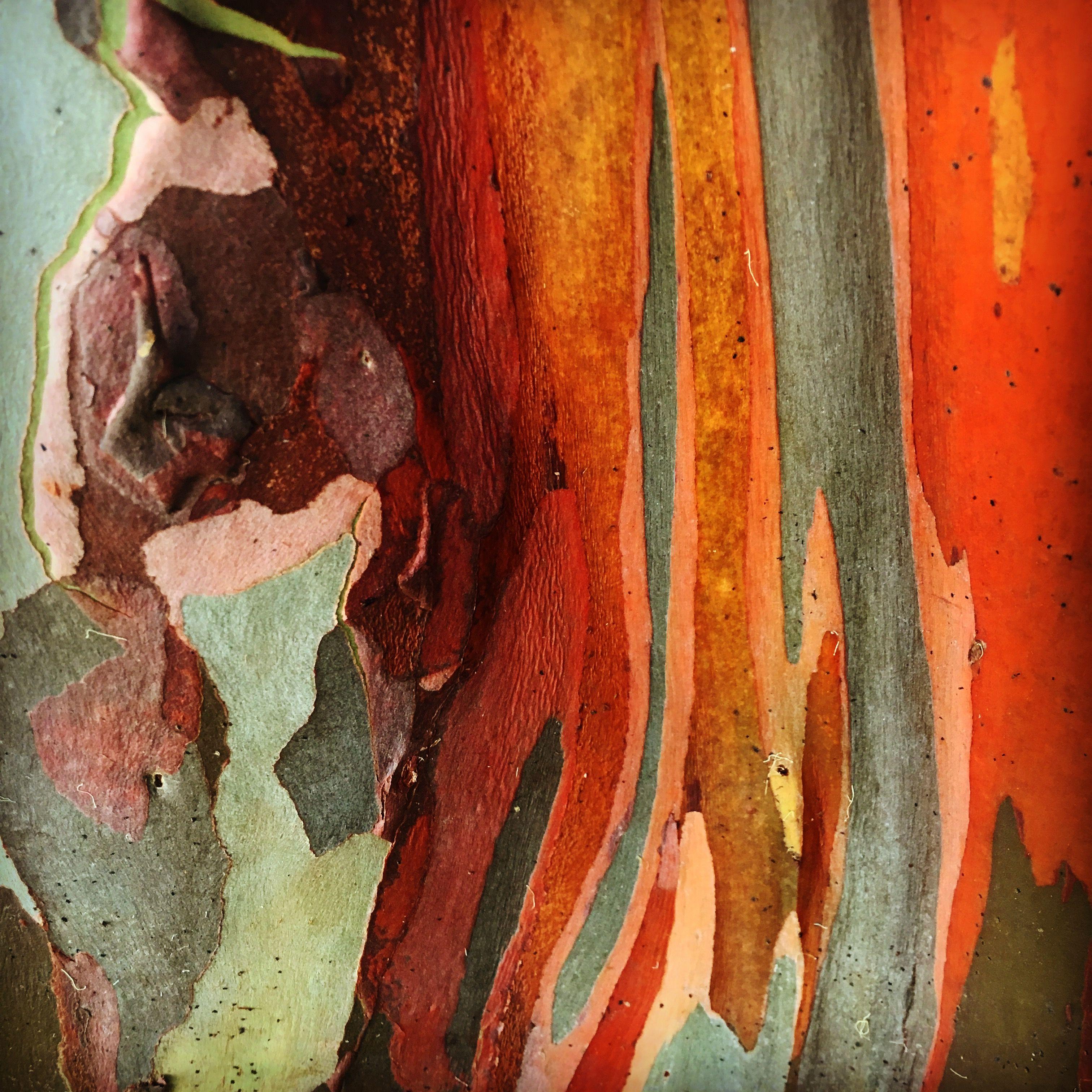 Rainbow eucalyptus tree bark from Kauai Hawaii Bark Pinterest