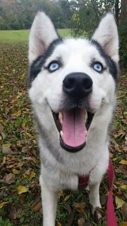 2 Year Old Female Siberian Husky Connecticut I Am A With A