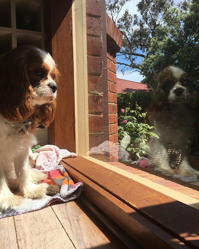 Just sitting here reflecting (get it?) on where the weekend went. #itcantbemondaytomorrow #bringbackfriday #teddyturner #theodorable #ckcs #ckcspuppy #cavalierkingcharlesspaniel #cavalier #cavlife #cavalierkingcharles #cavaliersofinstagram #cavalierworld #itsacavthing #pupstagram #puppiesofinstagram #puppylove #puppygram #puppylife #puppyoftheday #dogofthday #dogsofinstagram #blenheimcavalier #blenheimpuppy #cavstagram #cavstyle #cavaliercorner