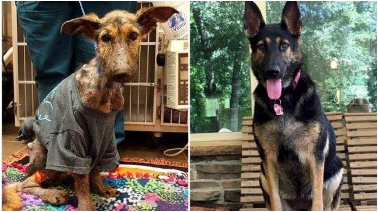 German Shepherd Dog Transferred From A Severely Emaciated Dog To A