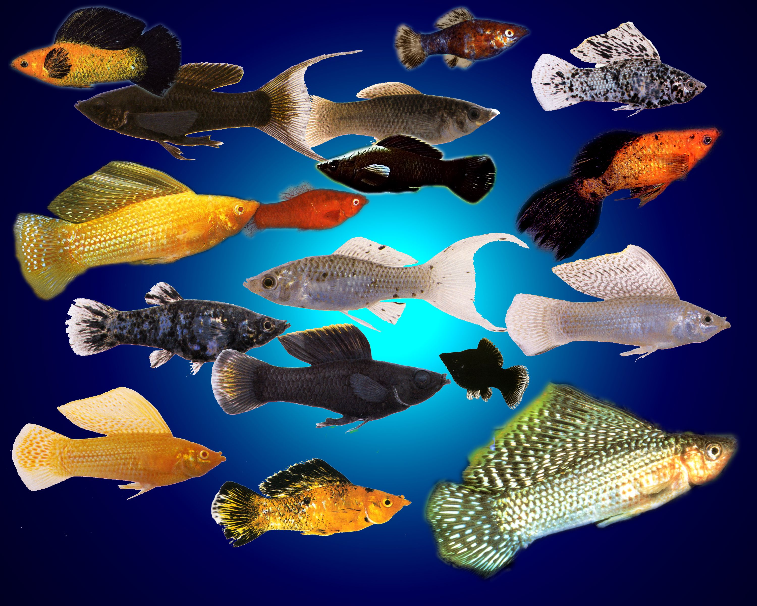 Wild Collection Of Mollies From My New Book Breeding Live Bearers Molly Fish Tropical Fish Aquarium Tropical Freshwater Fish