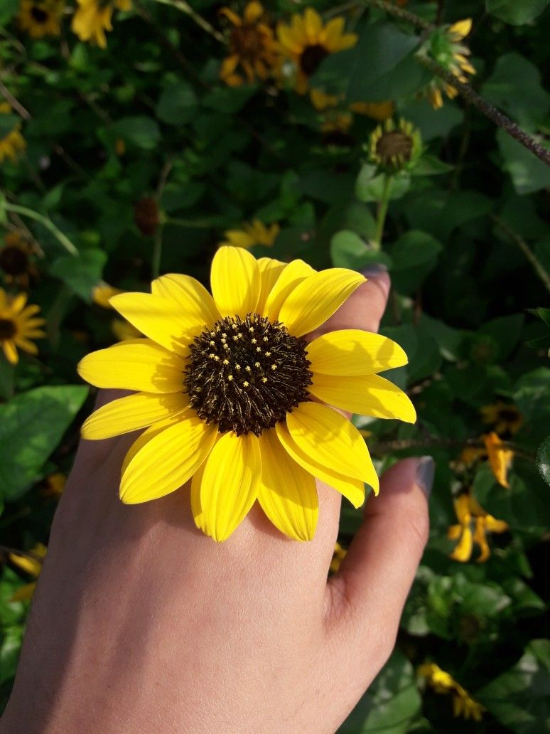 California Sunflower Sunflower Flowers Dandelion