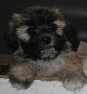 The Oklahoman Classifieds - Animals - Dogs | NewsOK com