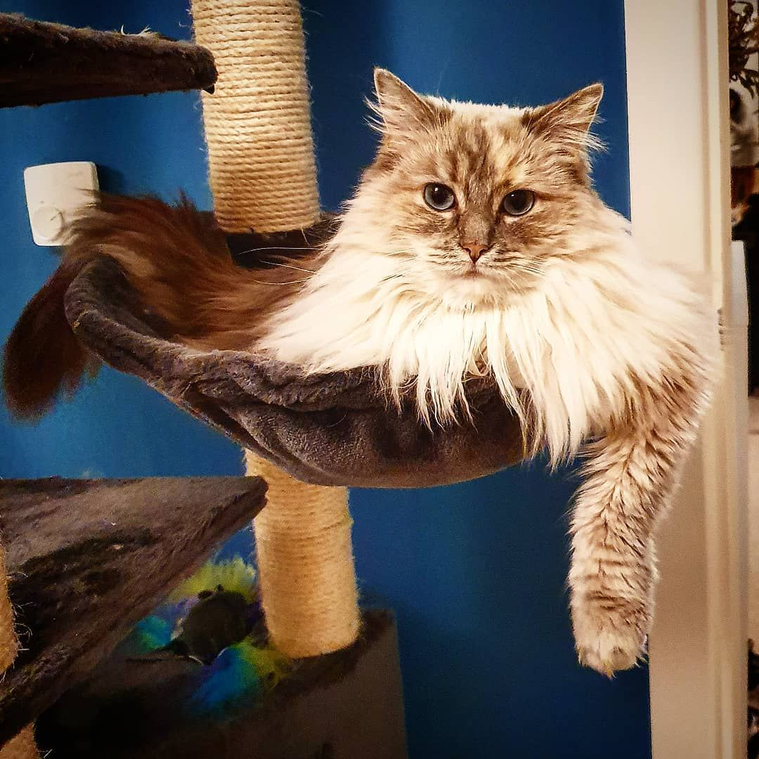 Gangster Just Chilling In My Cat Tree Cats Cat Day Cat Lovers