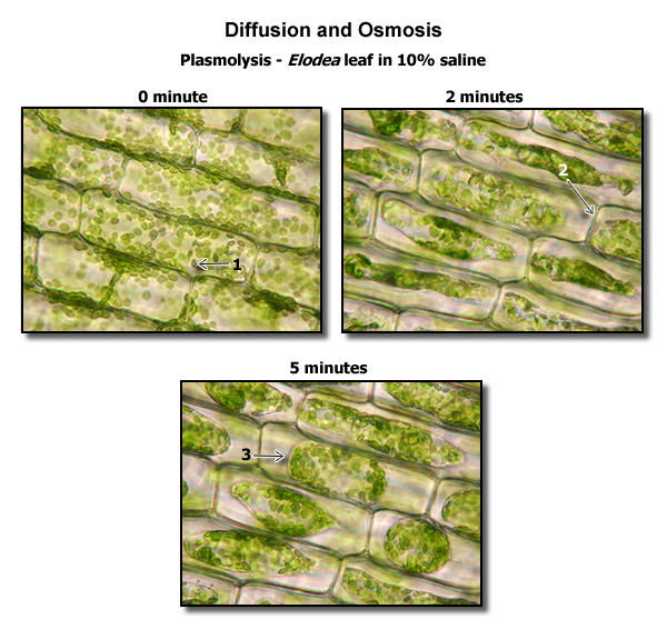 Plasmolysis Elodea Bio Stuff Slides Pinterest General