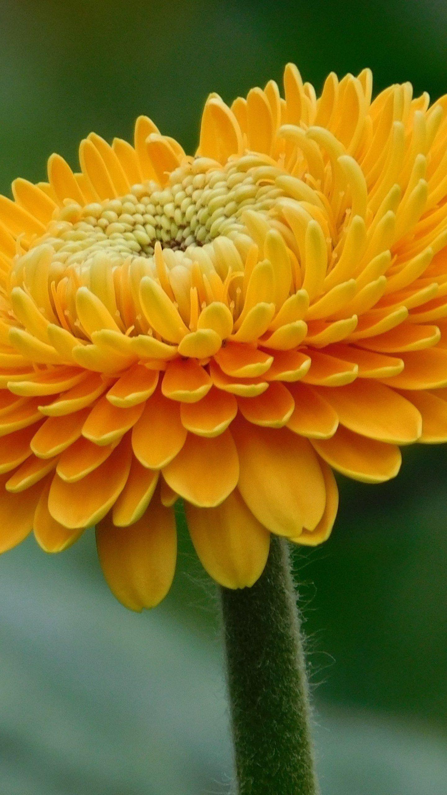 Orange Gerbera Flower Wallpaper Iphone Android Desktop Backgrounds Flower Iphone Wallpaper Yellow Flower Wallpaper Gerbera Flower