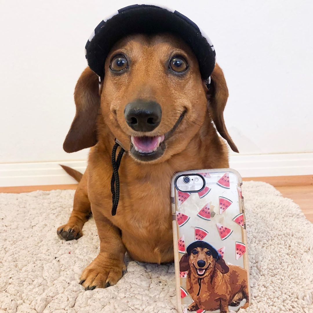 Funny Dachshund Dogs Funny Dachshund Funny Dachshunds Funny Dogs