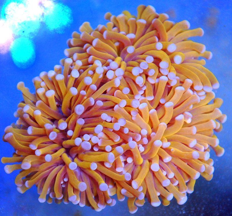 Extreme Corals Corals For Sale Coral Saltwater Aquarium