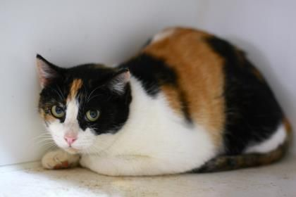 12 / 1 Petango.com – Meet Ann, a 6 months 9 days Domestic Shorthair / Mix available for adoption in STARKVILLE, MS Contact Information Address 510 Industrial Park Road, STARKVILLE, MS, 39759 Phone (662) 338-9093 Website http://www.ochsms.org Email shelter@ochsms.org