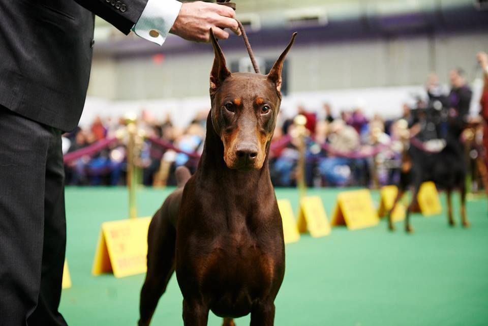 Best Of Opposite Winner At Westminster Kennel Club Dog Show Gch