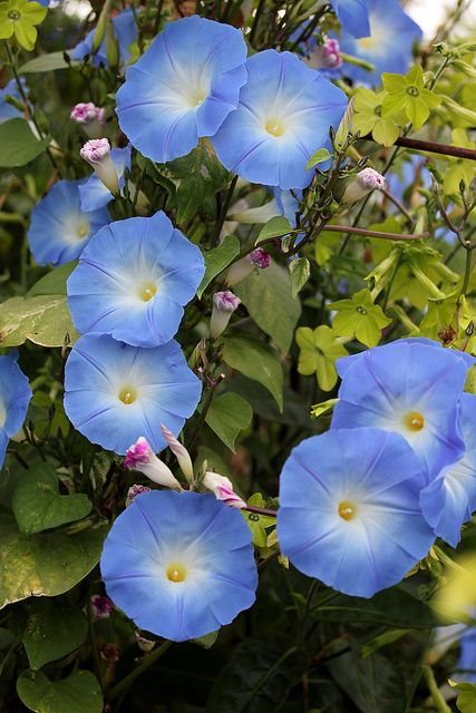 Ipomoea Heavenly Blue Blue Morning Glory Morning Glory Vine Blue Flowers