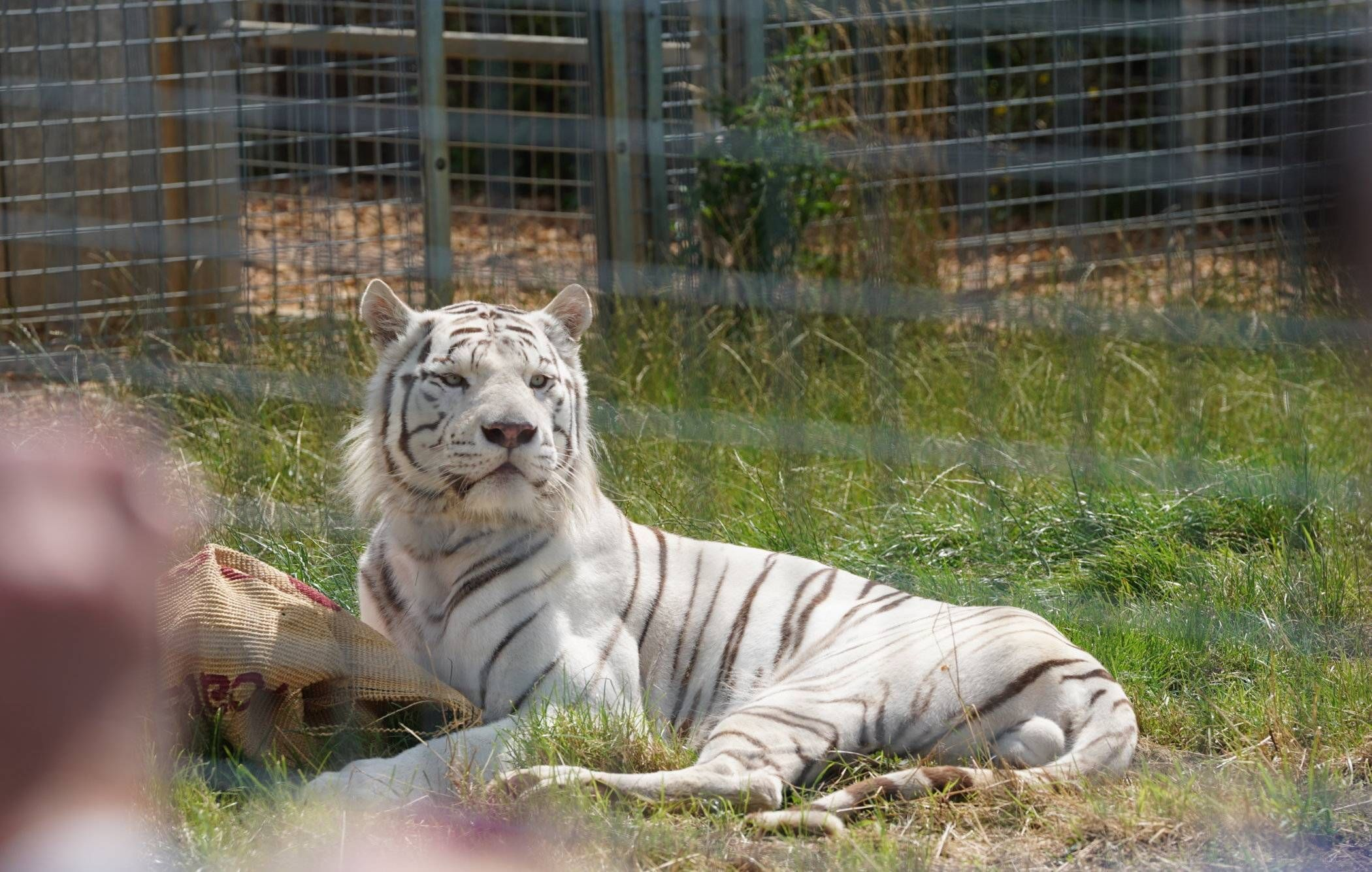 Global Tiger Day 2019 at Hamerton Zoo Park Katzenworld