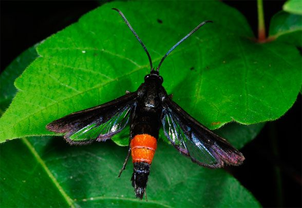 Mystery Critter: Peachtree Borer