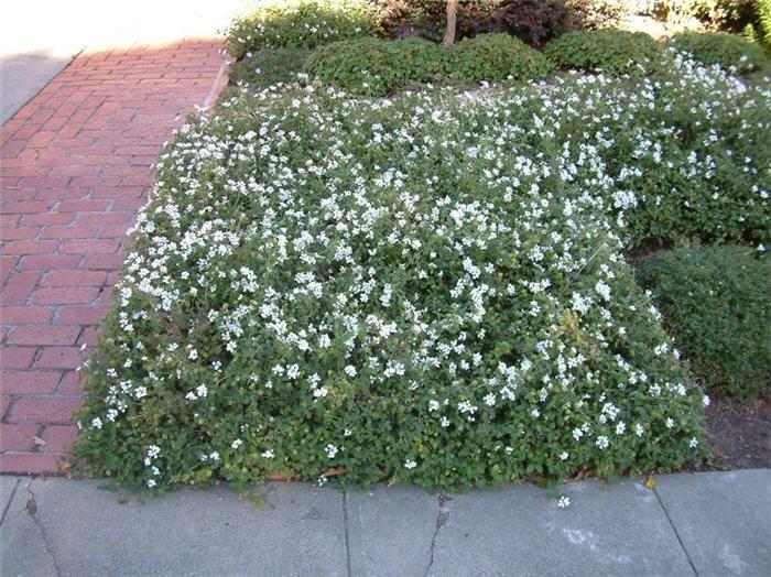 Plant Photo Of Lantana Montevidensis White Final Plant List