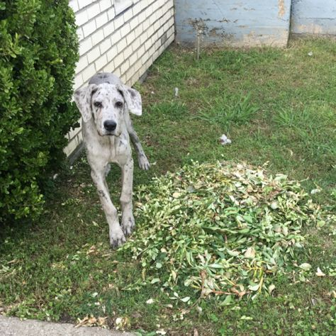 Scout Platinum Blue Merle Great Dane Merle Great Danes Blue Merle Great Dane Great Dane