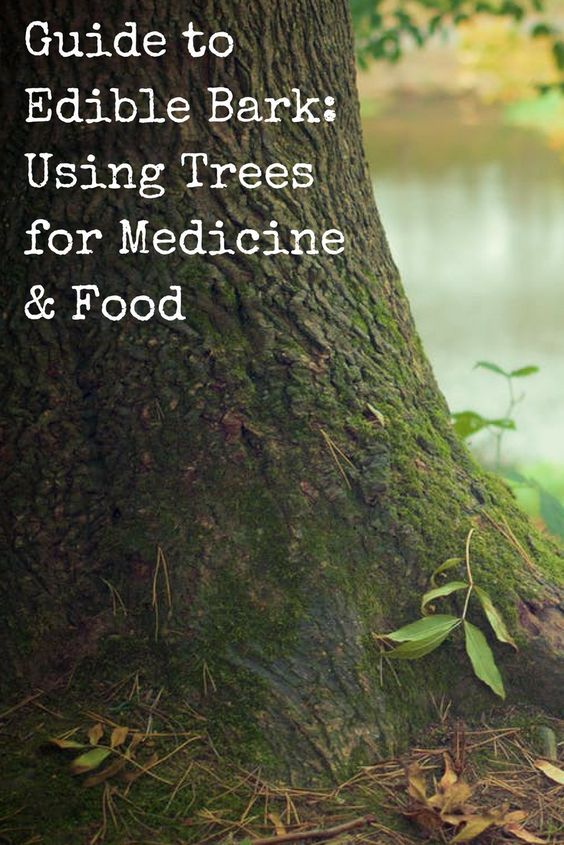 Guide to Edible Bark Using Trees for Medicine & Food