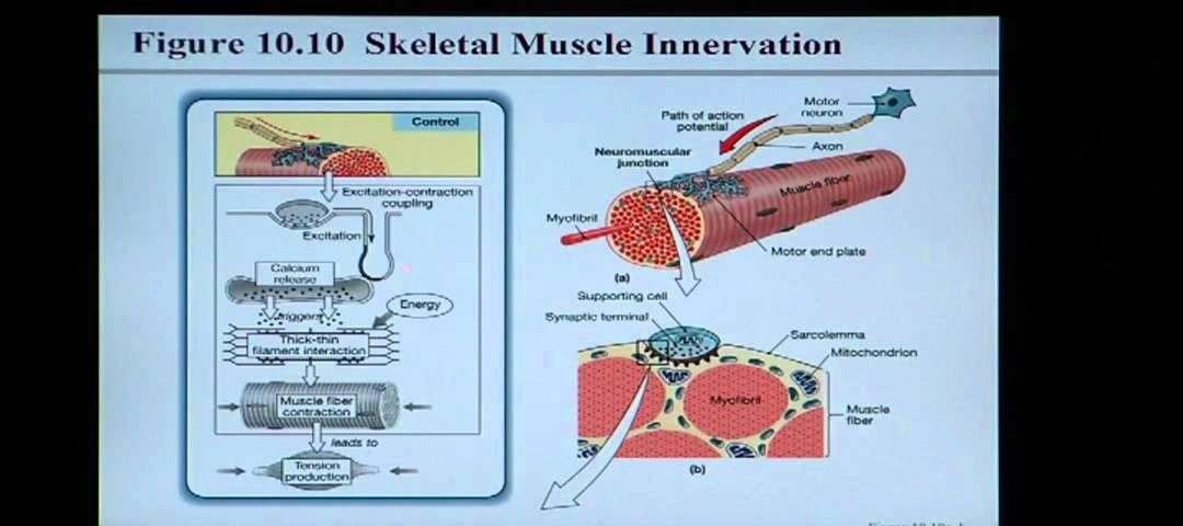 Anatomy and Physiology Help: Chapter 10 Muscle Tissue (+playlist ...