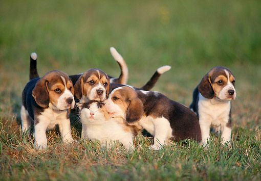Dok 06 Ab0001 01 C Kimball Stock Beagle Puppies On Grass With