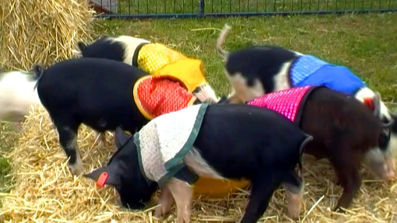 Hot Buttered PIGLET Races!