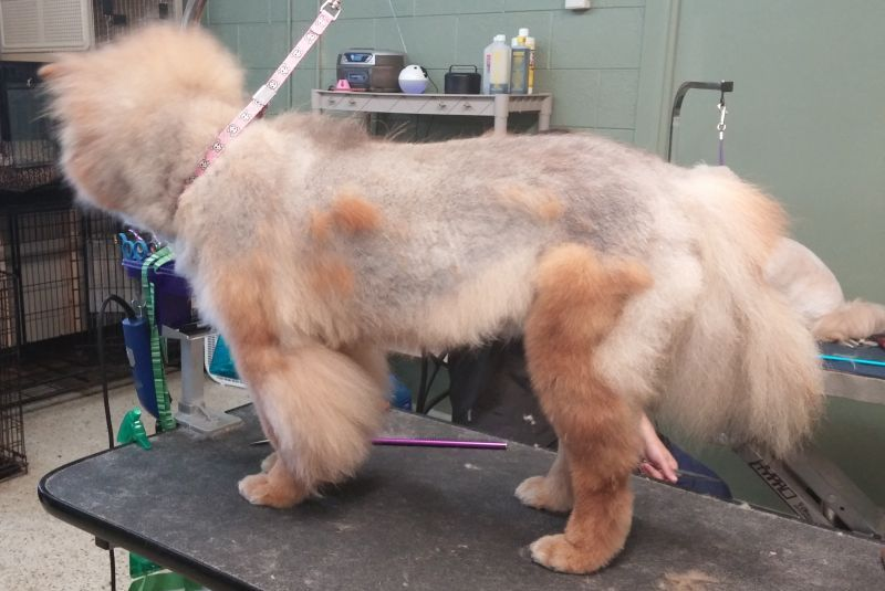 Want a reason to NOT shave your fur dog?! This is Ming, my Chow, with Coat  Funk. It's hard to get the coat back once this happens… | Dog coats, Your  dog,