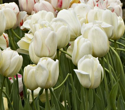 Ivory perennial tulip white flower farm flower farm and perennials white flower farm ivory perennial tulip from white flower farm wff ivory perennial tulip opens a creamy yellow and quickly matures to a solid ivory white mightylinksfo Gallery