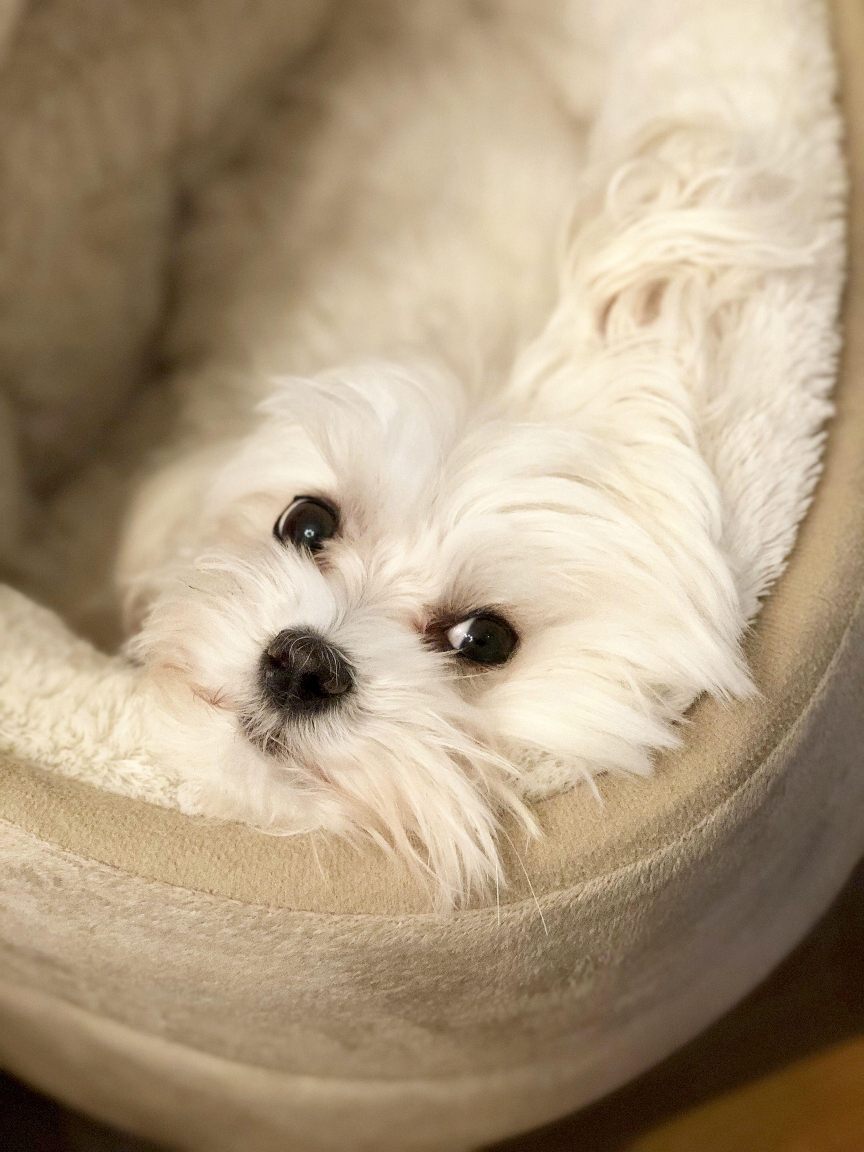 I Am Keeping My Eye On You Maltese Maltese Dogs Maltese Puppy