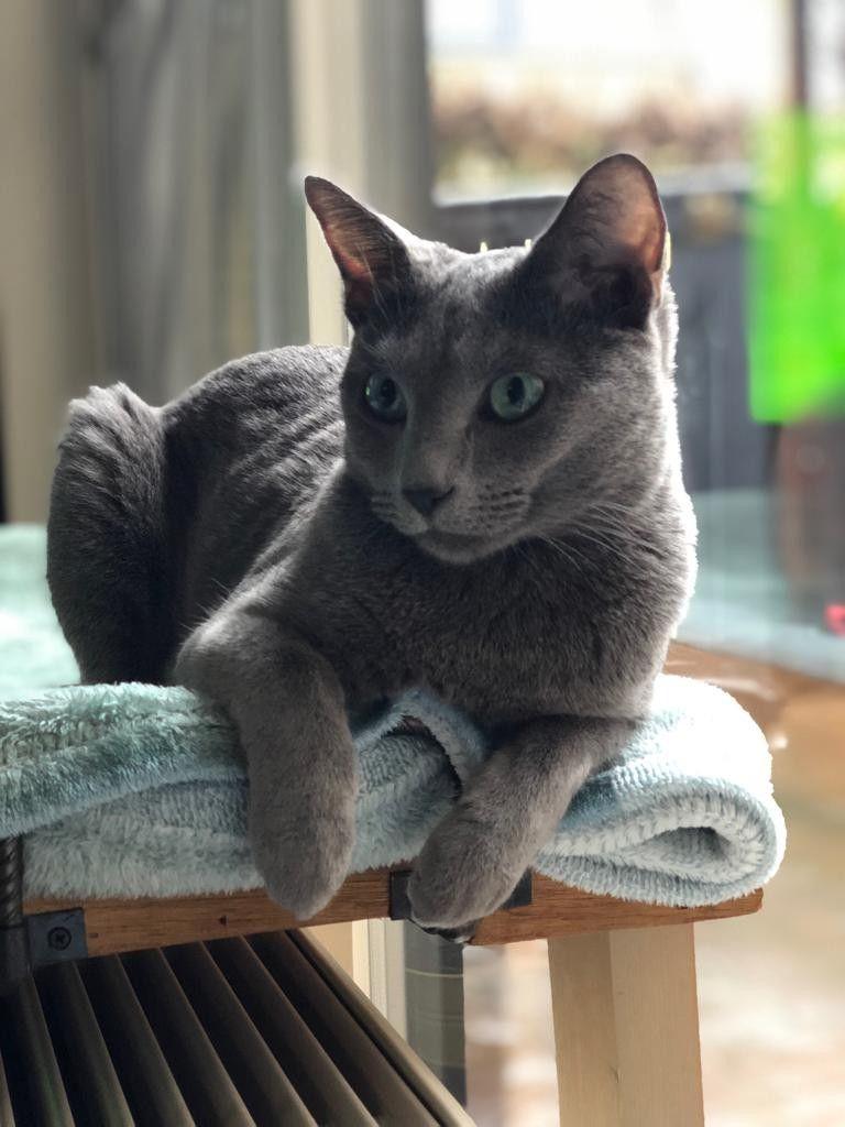 Yoshi Nice And Warm Russian Blue Cat Russian Blue Blue Cats