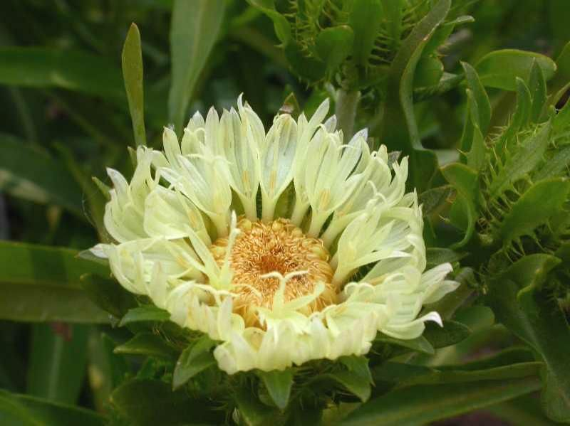 'Mary Gregory' Stokesia - Pale yellow, full sun, average water blooms June to Sept.,evergreen. I planted seeds Feb. 2 & they sprouted 2-14-17. I am ecstatic that I ended with about 20 plants. I planted about 10 (March 20) in a large hanging basket that I hang in our Vitex tree off the patio.  I plan to dig up my purple clump & also put in a hanging basket. (tbb)