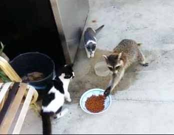 Raccoon Steals Cats' Food And Makes A Great Escape:  This is were the coon dog would come in and tree the coon or maybe not!
