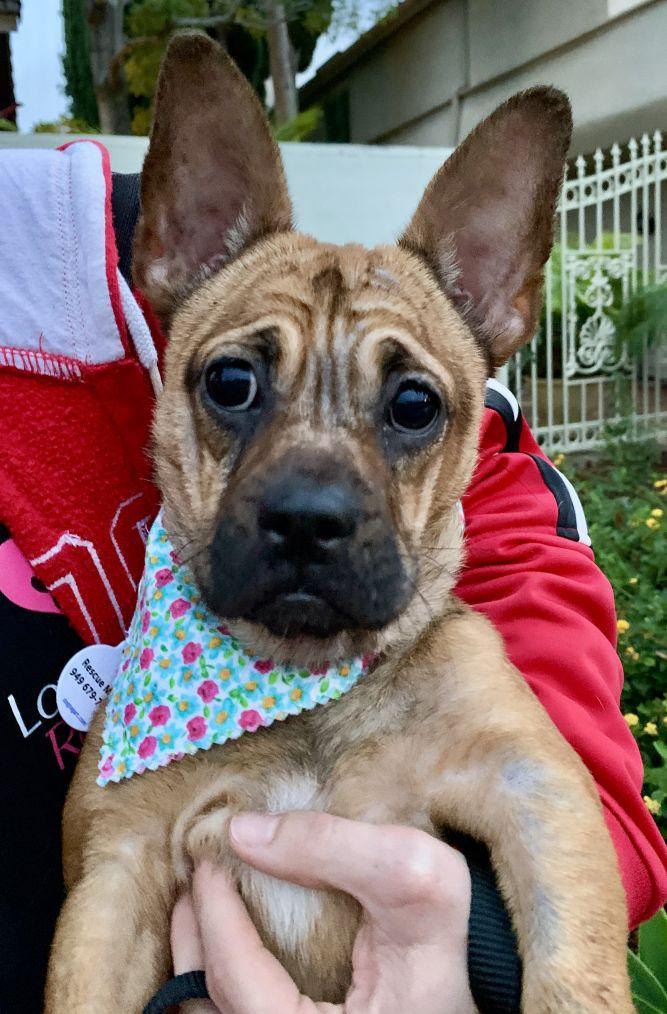 Adopt Frida on Petfinder French bulldog pug mix, Help