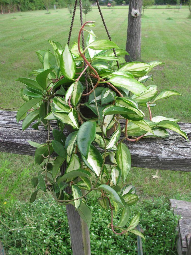 Hoya Carnosa Rubra Variegated Plant Tri Color 6 Pot Wax Hoyacarnosarubra