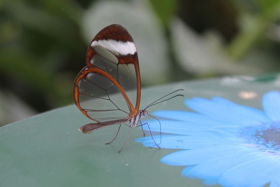 Glasswing by Ray Johnston, via 500px