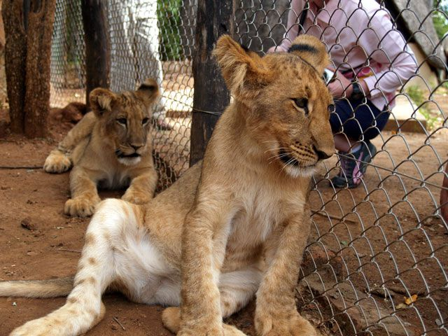 How Lions Go From The Petting Zoo To The Dinner Plate Zoo Animals Lions Animals
