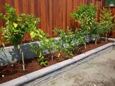 Backyard Farming Fruit Trees Along Fence I Did This So Glad