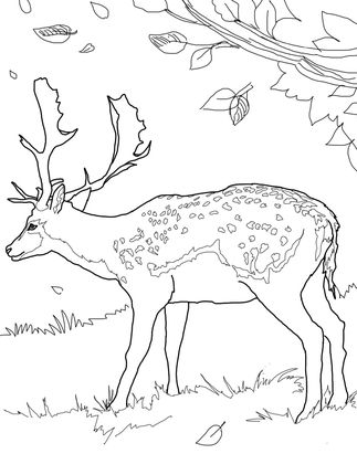 Fallow Deer Coloring Page Supercoloring Com Deer Coloring Pages Animal Coloring Pages Free Coloring Pages