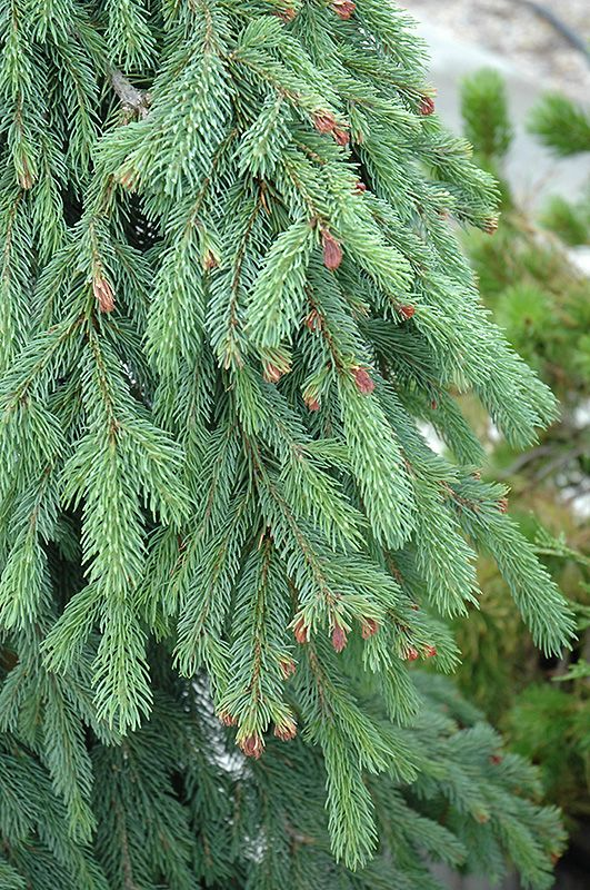 bachmans garden center. Click To View Full-size Photo Of Weeping White Spruce (Picea Glauca \u0027Pendula Bachmans Garden Center
