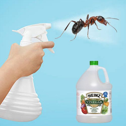 Get Rid Of Ants With White Vinegar, Natural Home Remedies