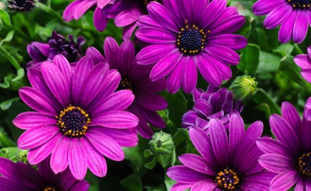 Kapkörbchen - Pflanzen, Pflege Und Tipps Sommer Blumen Pflanzen Pflege