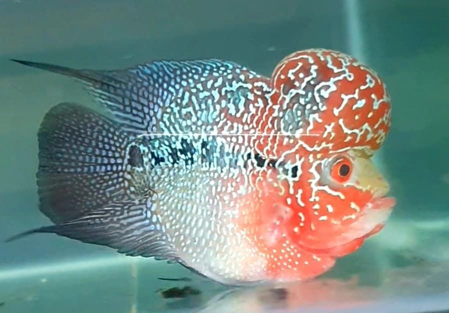V Flowerhorn On Instagram Bonsai Flowerhorn Kamfa Kingkamfa Juallouhan Jualkamfa L Freshwater Aquarium Fish Tropical Freshwater Fish Aquarium Fish