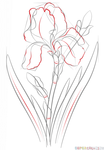 How To Draw An Iris Flower Step By Step Drawing Tutorials Flower Drawing Tutorials Iris Drawing Iris Flowers
