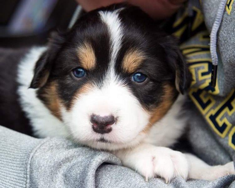 Australian shepherd puppy Sadie! Black tri Aussie puppy