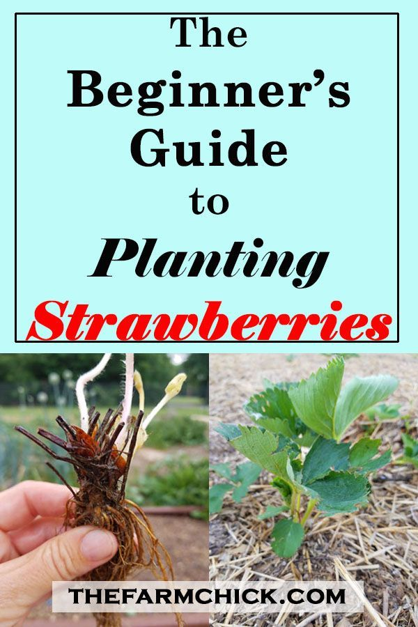 Beginner's Guide to Planting Strawberries is part of Container garden Strawberries - Want to experience fresh, warm, garden strawberries from your own patch  Read on to learn how to plant your own strawberries! It's not as hard as you may think, and you'll enjoy the fruits of your labor for years to come!
