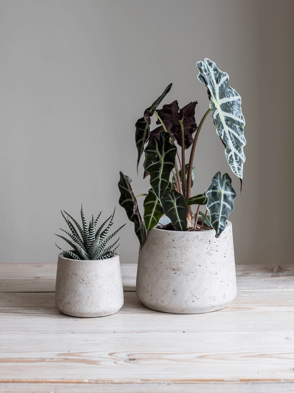 Two Nested Concrete Planters Small Potted Plants Large Plant