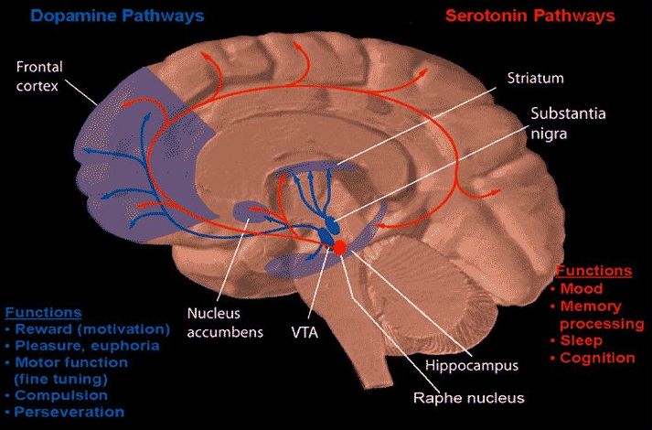Dopamineserotonin neuromarketing pinterest dopamine and serotonin pathways in human brain a microbiome gut brain axis exists that is essential for maintaining normal health which can affect brain ccuart Image collections