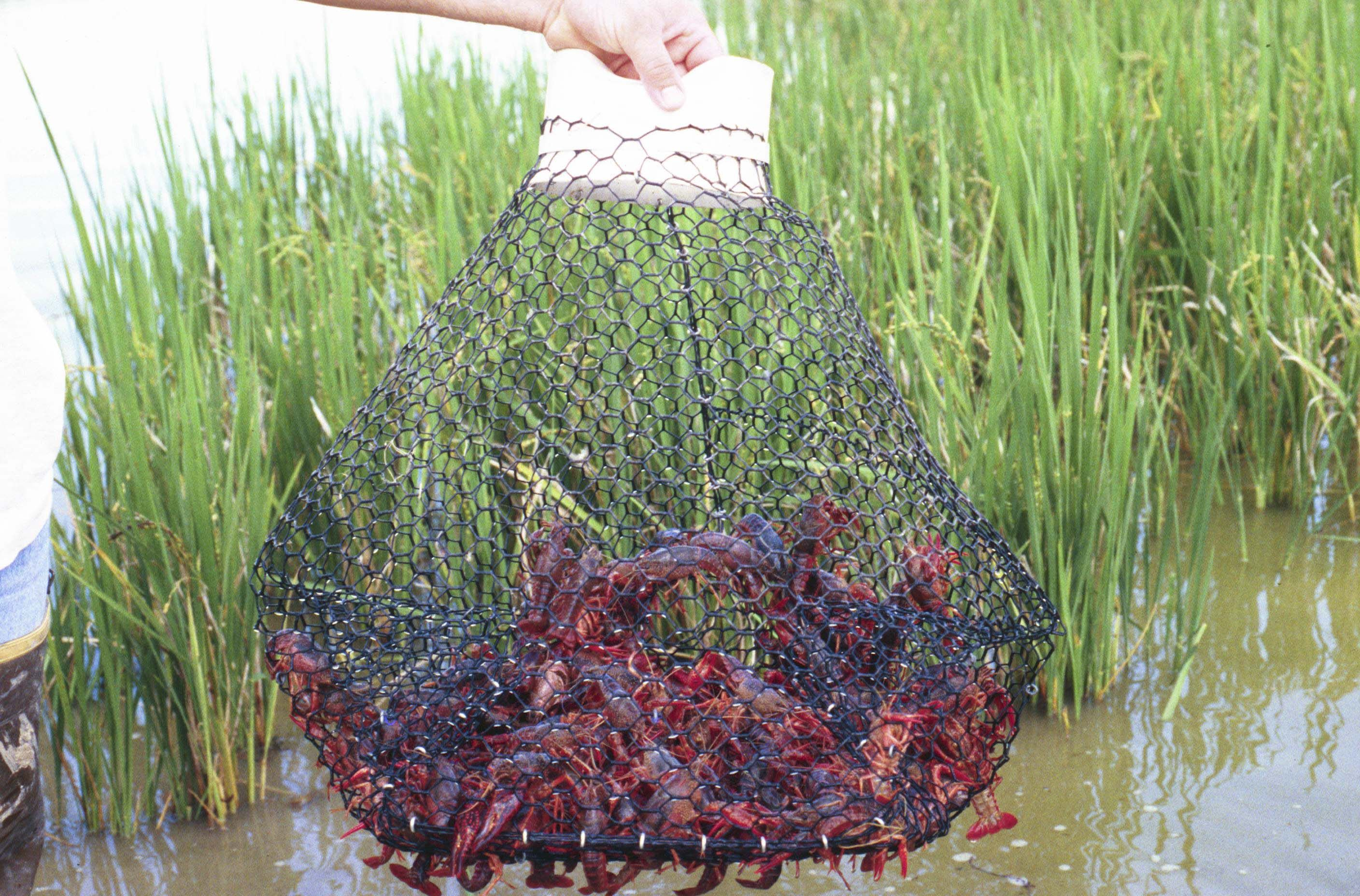 Making A Crayfish Trap That Works Making A Crayfish Trap Is One Of The  Easiest Things To Do In The World, And It Can Help To Ensure That You Have  An