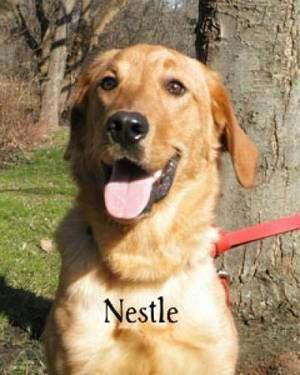 Labrador Retriever Nestle Large Young Male Dog This