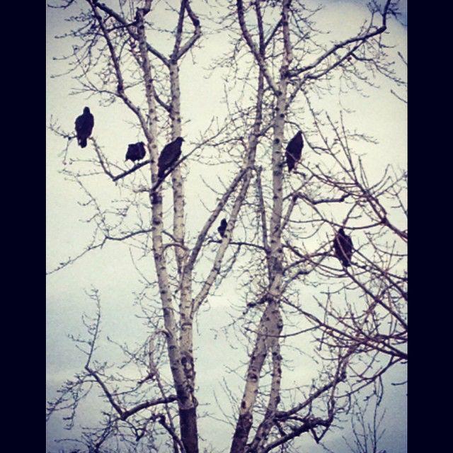 Very ominous looking Turkey Buzzards #turkey #buzzards #santaclaritahasitall #birdsofprey #scary