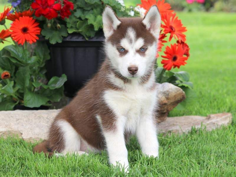Blue Eyes Siberian Husky Puppies For Sale Husky Puppies For Sale