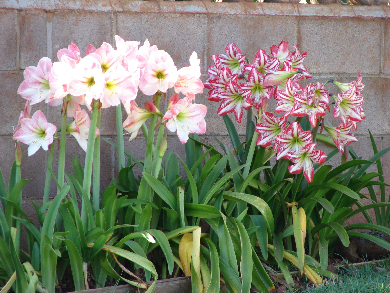 Amaryllis Indoor flowering plants, Amaryllis flowers, Plants