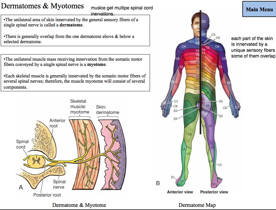 myotome chart - Anta.expocoaching.co
